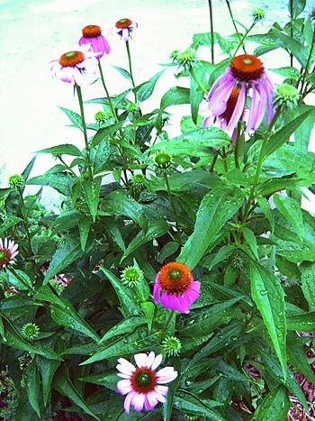 Echinacea3