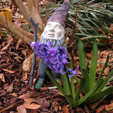 Hyacinthbeard
