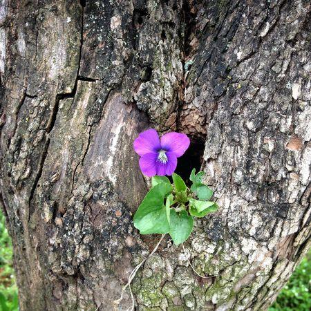Wildviolet1